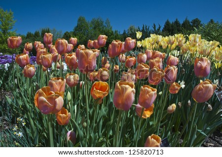 Beautiful garden of tulips. A perfect floral background.