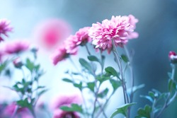 beautiful garden pink spring flowers on blue green background. Nature autumn vintage photo with cold colors. Aster. Chrysanthemum