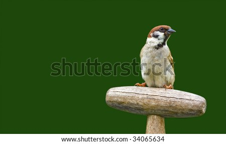 Beautiful garden sparrow with copy-space