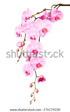 Beautiful gentle branch of white romantic orchid flowers isolated
