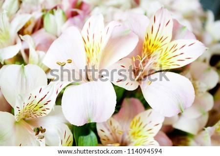 beautiful gentle exotic flowers Alstroemeria