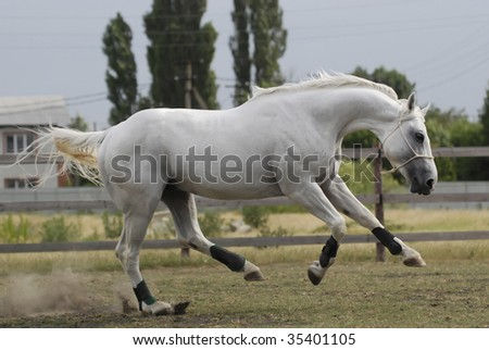 beautiful gentle silver white playing hannover horse