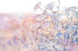 beautiful gentle winter landscape. cold winter season background. frozen grass. frosty weather.  new year and Christmas holiday concept. copy space