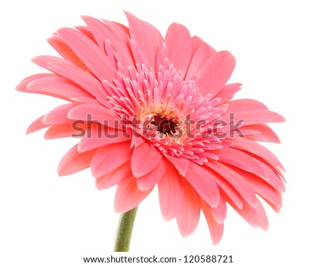 beautiful gerbera flower isolated on white