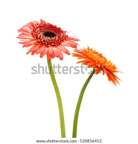 beautiful gerbera flowers isolated on white background