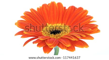 beautiful gerbera isolated on white