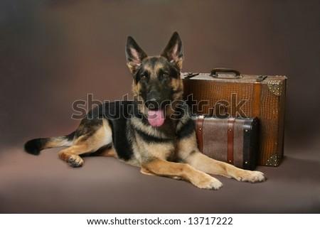 Beautiful German Shepard laying next to vintage luggage