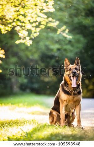 Beautiful German Shepherd Dog (Alsatian) outdoors, in warm evening light - stock photo