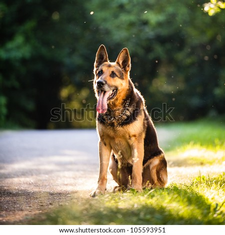 Beautiful German Shepherd Dog (Alsatian) outdoors, in warm evening light