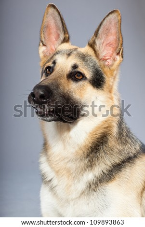 Beautiful german shepherd dog isolated on grey background. Studio shot. Grey and brown colored.