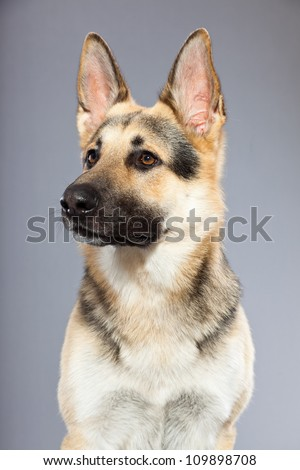 Beautiful german shepherd dog isolated on grey background. Studio shot. Grey and brown colored.
