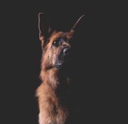Beautiful German Shepherd Dog on a Black Background