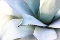 Beautiful giant blue-green agave leaves (Asparagaceae) with thorns, agave backgrounds and textures. Exotic plants of Mexico used in pharmacology, making cosmetic products. Cacti and succulents.