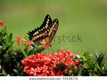 Beautiful giant swallow  tail Butterfly   feeding on some flowers