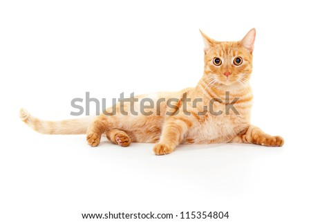 beautiful ginger cat lying isolated