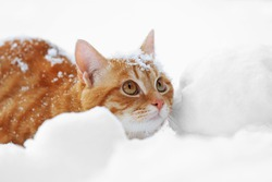 Beautiful ginger cat on snow background