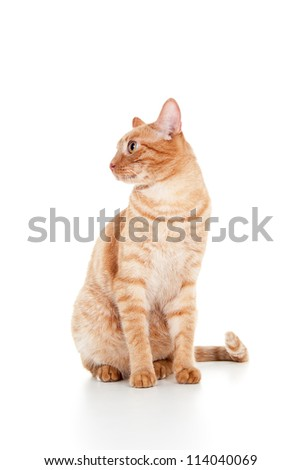 beautiful ginger cat sitting isolated on white background