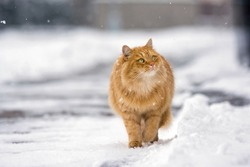 Beautiful ginger cat walking down the snowy street in winter