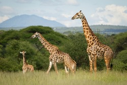 Beautiful Giraffe family in the Serengeti