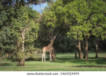 Beautiful giraffe ( Giraffa camelopardalis) in Aberdare Country club