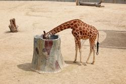 Beautiful giraffe in a zoo. long-necked giraffe, beautiful, spotted, amazing beast. good beast ready to eat with hands.