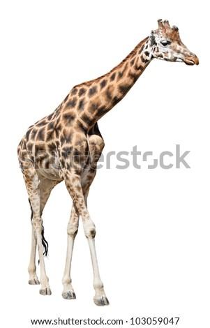 Beautiful giraffe isolated on white background #103059047
