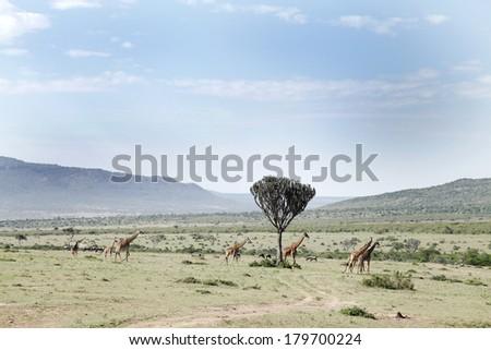 Beautiful Giraffes and the acacia tree in the Savannah grassland  #179700224