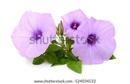 beautiful glory morning flowers and leaves isolated on white background #524034532