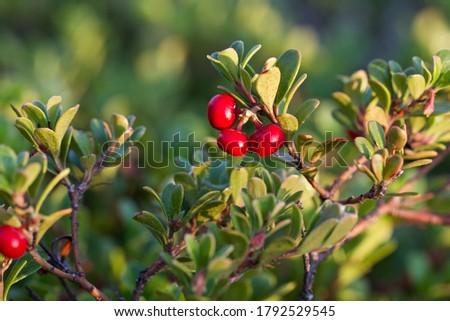 Beautiful glossy red fruits of bearberry (Arctostaphylos uva-ursi). Scarlet fruits of the uva-ursi.  Foto stock ©