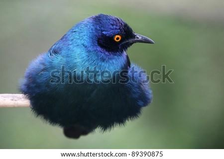 Starling Bird Symbolism Beautiful Glossy Starling Bird