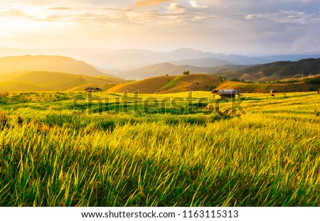 Beautiful gold color sunset at rice field, rice terrace. ストックフォト ©