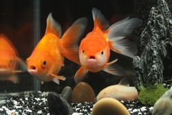 BEAUTIFUL GOLD FISH IN A FISH TANK