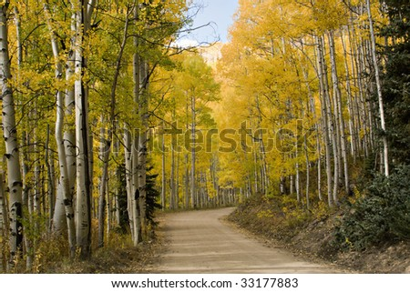 Beautiful golden Aspens alongside rural unpaved Colorado road with beautiful cloudy blue skies