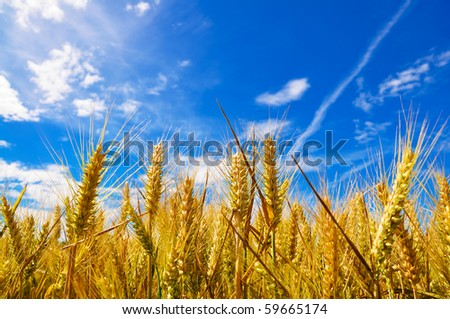 Beautiful golden crop meadow in the blue sky