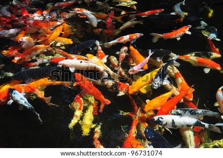Beautiful golden koi fish in the fish ponds - stock photo