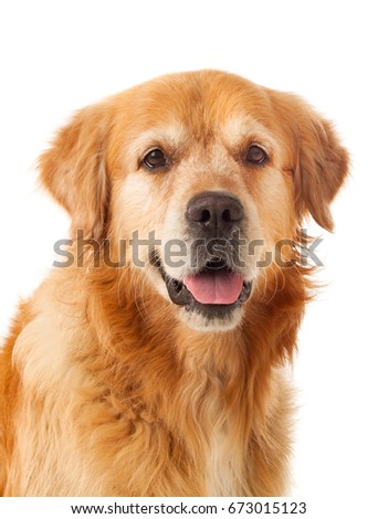 Beautiful Golden Retriever dog breed in isolated studio on white background #673015123