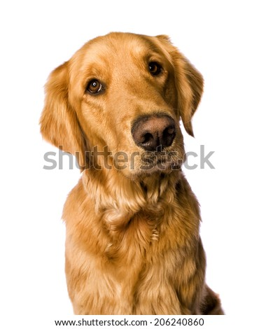 Beautiful golden retriever dog head shot isolated on white background #206240860