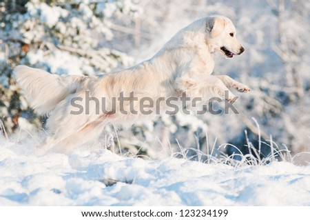beautiful golden retriever dog jumping in the snowy forest