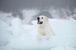 Beautiful golden retriever dog lying on the ice floe by the sea in winter. Adorable white golden retriver posing on the snow.