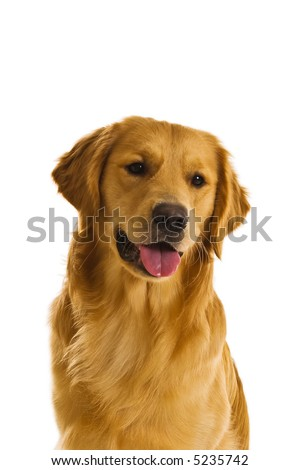 Beautiful golden retriever dogs in a variety of poses. #5235742