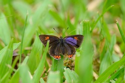 beautiful Golden Sapphire butterfly (Hellophorus brahma) on grass near the road track