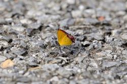 beautiful Golden Sapphire butterfly (Hellophorus brahma) on the road track