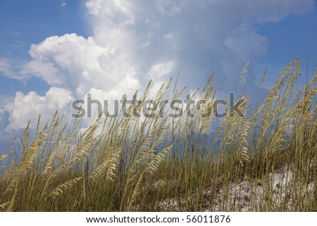 Beautiful golden Sea Oat plants on white sandy beach in front of blue sky and billowing clouds