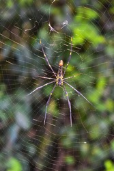 beautiful golden silk orb weaver spider Trichonephila clavipes on web