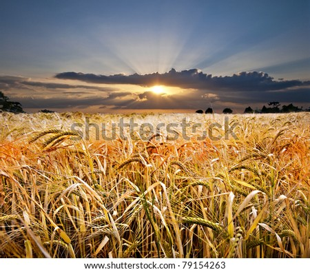 beautiful golden wheat field with a spectacular sunset with bright sunbeams in the background