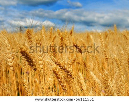 Beautiful golden wheat in the field with blue sky and clouds