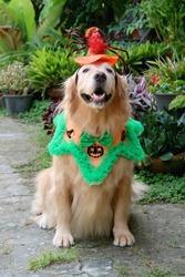 Beautiful goldenretriever dog  ready for halloween in garden.