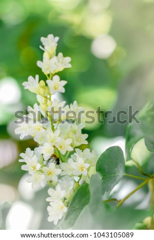 Free photos bridal creeper snow creeper snow vine flowers beautiful good smell little white flowers bridal creeper snow creeper blooming in garden and morning mightylinksfo