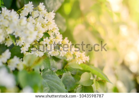 Free photos bridal creeper snow creeper snow vine flowers in the beautiful good smell little white flowers bridal creeper snow creeper blooming in garden and morning mightylinksfo