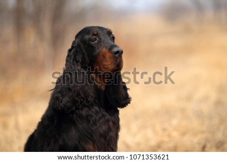 Beautiful gordon setter dog. Outdoor portrait. #1071353621